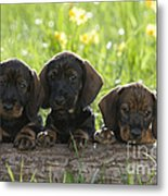 Wire-haired Dachshund Puppies Metal Print
