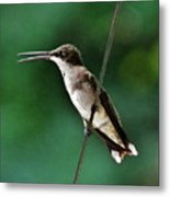 Wire Walker Young Male Ruby-throated Hummingbird    Metal Print