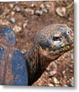 Wise Old Tortoise Metal Print