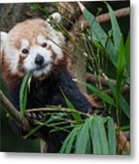 Wizened Red Panda Metal Print