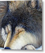 Wolf Dreams Metal Print