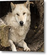 Wolf In A Log Metal Print