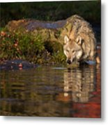 Wolf In Pond Metal Print