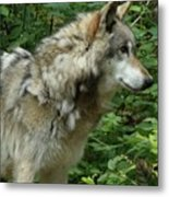 Wolf In The Woods Metal Print by Donna Parlow