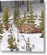 Wolf On Elk Kill Metal Print