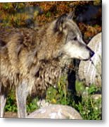 Wolf On Patorl Metal Print