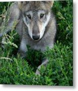 Wolf Pup Portrait Metal Print