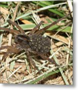 Wolf Spider With Babies Metal Print