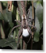 Wolf Spider With Egg Sac Metal Print