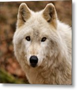 Wolf Watching Metal Print