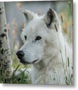 Wolf, White Metal Print