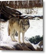 Wolfe In Winter Snow Metal Print