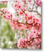 Wonderful Pink Cherry Blossoms At Floriade Metal Print
