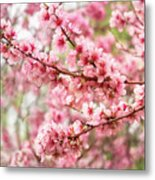 Wonderfully Delicate Pink Cherry Blossoms At Canberra's Floriade Metal Print