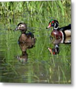 Wood Duck Couple Metal Print