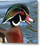 Wood Duck Drake Calling In Spring Courtship Metal Print