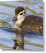 Wood Duck Duckling Swimming Santa Cruz Metal Print by Sebastian Kennerknecht
