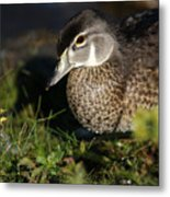 Wood Duck Female Metal Print