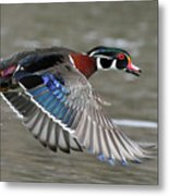 Wood Duck In Action Metal Print