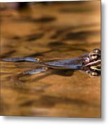 Wood Frog Reflecting On Golden Pond Metal Print