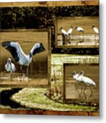 Wood Storks Of Oak Grove Island Metal Print
