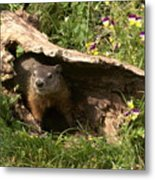 Woodchuck Ready For Spring Metal Print