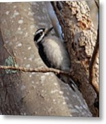 Woodpecker Feb 2011 Metal Print