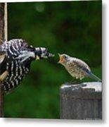 Woodpecker Feeding Bluebird Metal Print