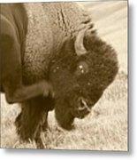 Woolly Itch ... Montana Art Photo Metal Print