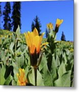 Woolly Mule's-ear At Lassen Park Metal Print