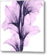 X-ray Of A Gladiola Flower Metal Print