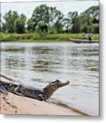 Yacare Caiman On Beach With Passing Boat Metal Print