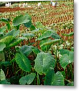 Yams Farm In Azores Metal Print