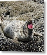 Yawning Harbor Seal - Oregon Coast Metal Print