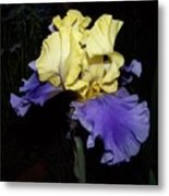 Yellow And Blue Iris Metal Print