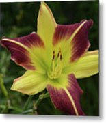 Yellow And Marron Flowering Lily In A Garden Metal Print