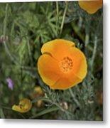 Yellow And Orange Poppy Metal Print