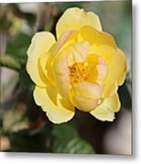 Yellow And Pink Tipped Rose Metal Print