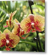 Yellow And Red Spotted Phalaenopsis Orchids Metal Print