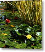 Yellow And Red Water Lilies In A Pond Metal Print