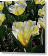 Yellow And White Tulips Flowering In A Garden Metal Print
