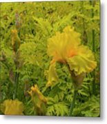 Yellow Bearded Iris Metal Print