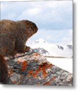 Yellow-bellied Marmot Enjoying The Mountain View Metal Print
