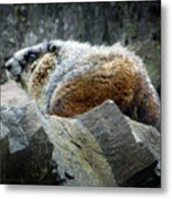 Yellow Bellied Marmot - Glacier National Park Metal Print