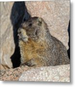 Yellow-bellied Marmot Poses For Pictures Metal Print