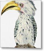 Yellow-billed Hornbill Watercolor Painting Metal Print