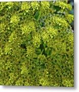 Yellow Blossoms Of Green Aeonium In Huntington Desert Garden In San Marino-california  Metal Print