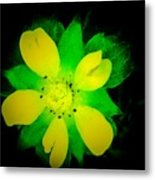 Yellow Buttercup On Black Background Metal Print