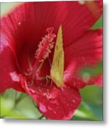 Yellow Butterfly On Red Hibiscus Metal Print