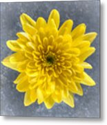 Yellow Chrysanthemum Flower Metal Print